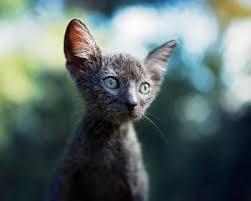 Cat Vlkodlaci Nové Plemeno Popis Foto