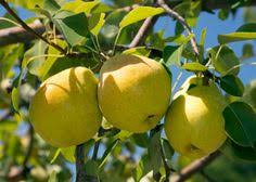 Basic Fruit Trees For Central Texas And Simple Tips To Keep Them Fruit Trees For Central Texas