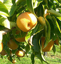 Buy Tropical Fruit TreesFruit Trees For North Florida