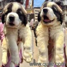 friendly breed golden retriever shihtzu breed puppies also available in mumbai navi mumbai andheri kadivali borlivli virar vasi panvel thane powai dombivli