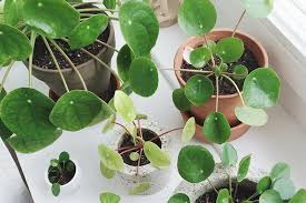 chinese money plant is easy to