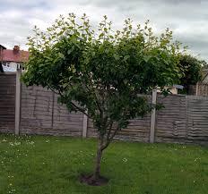 4 Benefits Of Thinning Fruit Trees  Stark Brou0027sPlum Tree Not Producing Fruit