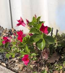 Garden Centre Kitchener Buy Dipladenia In Kitchener Waterloogreenway Blooming Centre