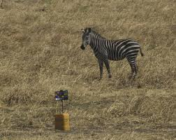 Zebra In Grassy Plains Looks At Equipment With Color Chart