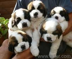 9540582990 st bernard puppy available for sell in trimulgherry hyderabad pets on hyderabad quikr clifieds