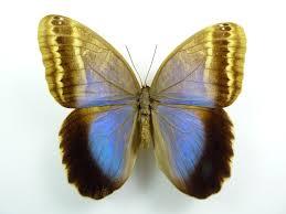 Caligo ilioneus Weibchen