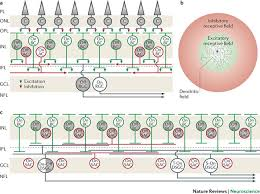 organizational wiring diagrams organizational discover your neuronal organization of the retinaa a wiring diagram