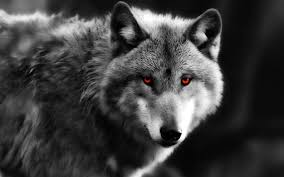 black wolf with red eyes wallpaper. Intended Black Wolf With Red Eyes Wallpaper