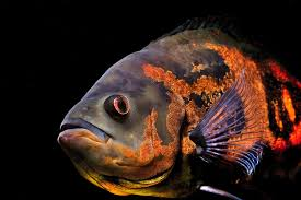 Oscar (fish) - Wikipedia