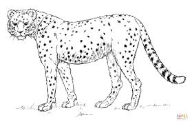 African Cheetah Coloring Page Free Printable Coloring Pages