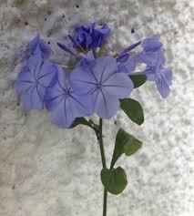 nature outdoor blossom plant flower petal bloom summer fl bush botany blue garden flora decorative plumbago