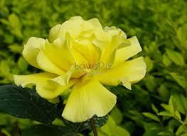 beautiful rose flowers photo
