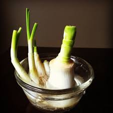 Kitchen Scrap Gardening 13 Vegetables That You Can Regrow Again And Again