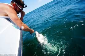 cute baby great white shark. Simple Cute Fernandez Is Seen With The Baby Great White Shark And Cute Baby Great White Shark R