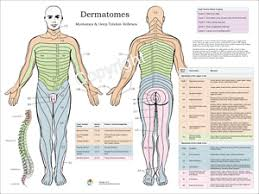Chiropractic Body Chart Details About Dermatomes Myotomes Nerve Pattern Poster 18 X 24 Chiropractic Dermatomal Chart
