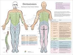 Details About Dermatomes Myotomes Nerve Pattern Poster 18 X 24 Chiropractic Dermatomal Chart