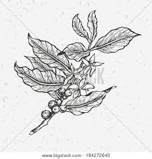 vintage coffee plant illustration. Exellent Plant Coffee Tree Illustration Engraved And Black White Style Vintage  Coffee Intended Plant Illustration