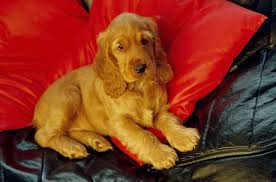 Cocker Spaniel Dog Breed Information Pictures