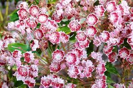 EXOTIC SHRUBS  The Trees U0026 Flowers Of WhangareiShrub With Pink Flowers