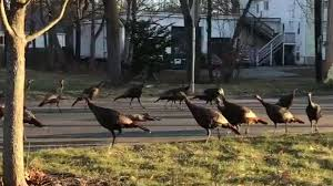 Turkeys Circling A <b>Dead Cat</b> Are Probably Wary, Not Working Dark ...