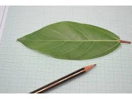 Measure Area Leaves