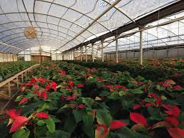 photo of a greenhouse full of flowering poinsettas in tyler texas