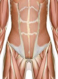 Muscles Of The Abdomen Lower Back And Pelvis