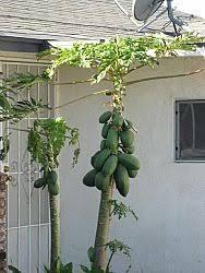 Backyards  Terrific Fruit A Malika Mango Tree At Backyard 122 Southern California Fruit Trees
