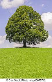 Lipa, cielna, jednorazowy, stare drzewo. Lipa, stary, łąka, wielkie drzewo, jednorazowy. | CanStock