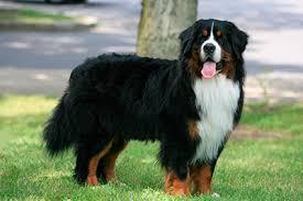 bernese mountain dog side profile