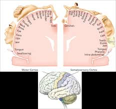 an ilration of a cross section of the motor cortex and somatosensory cortex shows where