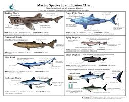 Marine Species Identification Chart Basking Shark