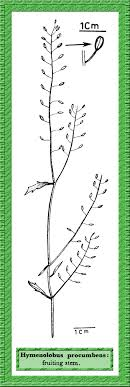 Hymenolobus procumbens in Flora of Pakistan @ efloras.org
