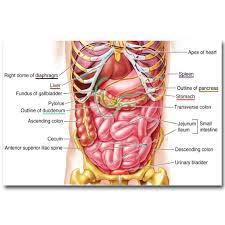 Human Organ Chart Human Body Diagram Stomach Get Rid Of Wiring Diagram Problem