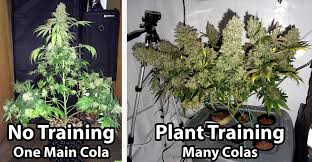 complete guide to cans plant training