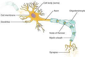 Neurons Boundless Psychology