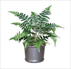 ferns a type of plant that you are probably very familiar with they do well in low lights and indoors but they do require a consistent moisture and best office plant no sunlight