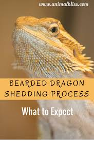 bearded dragon shedding process what to expect
