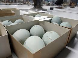 avoiding regret photo essay the eggs and nests of the bird museum photo essay the eggs and nests of the bird museum