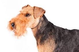 Airedale Weight Chart Airedale Terrier Dog Breed Information