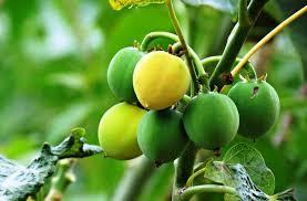 Jatropha curcas – A <b>multipurpose</b> African traditional medicinal plant ...