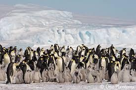 emperor penguin habitat. Delighful Habitat HABITAT The Emperor Penguin Is Marine And Pelagic Outside Nesting Period  Breeding Colonies Are Found On Stable Pack Ice Usually Near The Coast  For Habitat