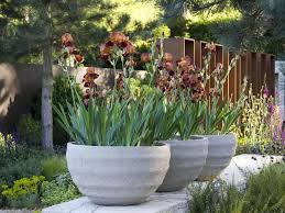 These traditional English garden irises contrast with the contemporary look  of these large flower pots.