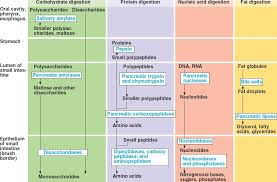 Human Digestive Enzymes Chart Digestive System Enzymes Anatomy Physiology Medical