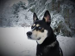 free images white puppy fur portrait blue eye face snout lovely hybrid vertebrate snow dog winter forest expectant young dog