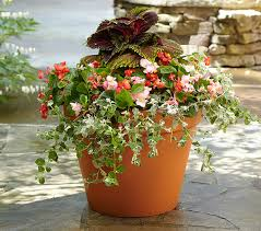 Shade Lover's Container - For one pot: Thriller: 2 large-leaved coleus  plants (Coleus x hybridus 'Kong' series) Filler: 4 begonias in assorted  colors ...
