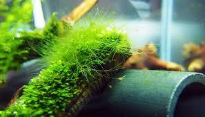 green hair aquarium algae