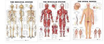 Anatomy Chart Muscular System Skeletal System Muscular System Spinal Nerves Anatomical