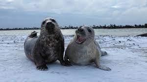 Unterschätzte Tiere: Robben röhren »Morgen kommt der Weihnachtsmann« -  Spektrum der Wissenschaft