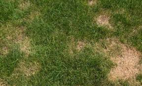 Brown Patch Disease Brown Patch A Common Fungal Disease Of Lawn Grass